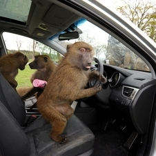 Hyundai also put toys in the car for the monkeys
